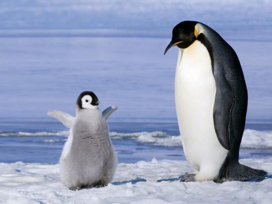 可愛く,悶える,ペンギン,画像,貼っていく003
