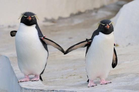 可愛く,悶える,ペンギン,画像,貼っていく004