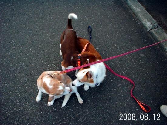 人懐っこく,愛らしい,ビーグル,犬,画像,貼っていく005