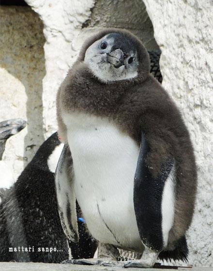 可愛く,悶える,ペンギン,画像,貼っていく005