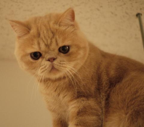 ちょっぴり,ぶち,可愛,猫,画像,貼っていく005