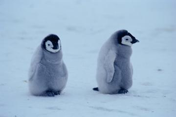 可愛すぎる,コウテイ,ペンギン,赤ちゃん,画像,貼っていく005