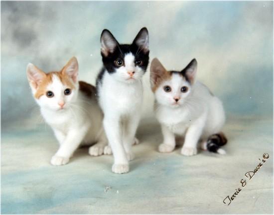 凛々しい,三毛猫,画像,貼っていく005