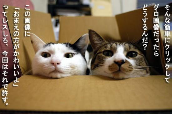 可愛い,猫,画像,貼っていく006