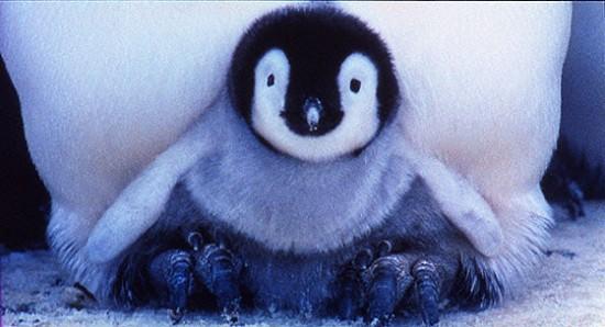 可愛すぎる,コウテイ,ペンギン,赤ちゃん,画像,貼っていく006