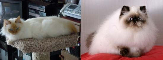 のほほん,のんびり屋,ペルシャ,猫,画像,貼っていく006