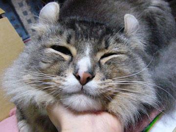 くるん,カール,耳,愛らしい,猫,メリカンカール,画像,貼っていく007