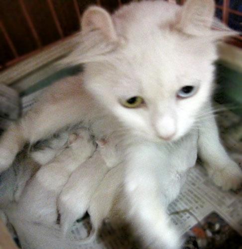 くるん,カール,耳,愛らしい,猫,メリカンカール,画像,貼っていく008