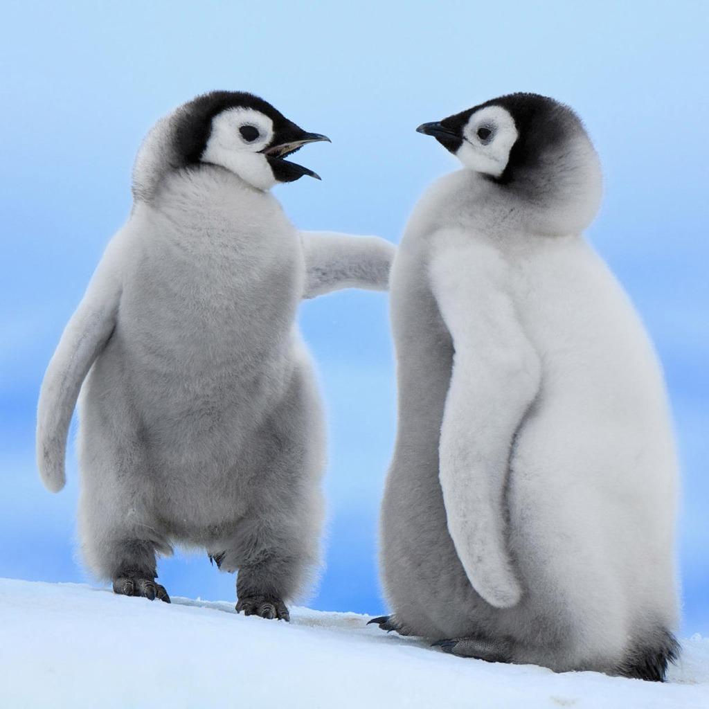 可愛く,悶える,ペンギン,画像,貼っていく009