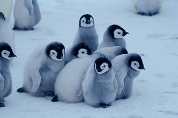 可愛すぎる,コウテイ,ペンギン,赤ちゃん,画像,貼っていく009