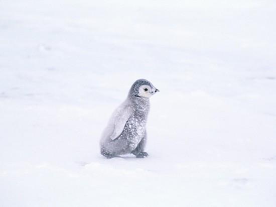 可愛く,悶える,ペンギン,画像,貼っていく010