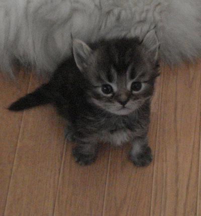 くるん,カール,耳,愛らしい,猫,メリカンカール,画像,貼っていく010