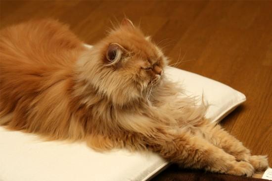 のほほん,のんびり屋,ペルシャ,猫,画像,貼っていく010