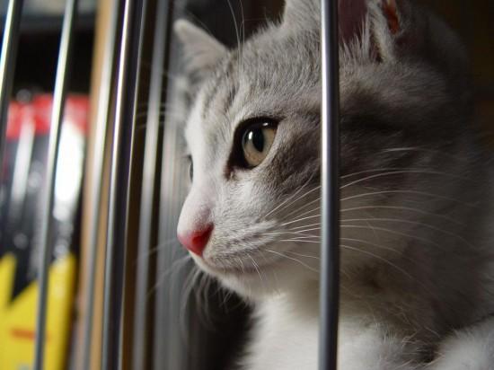 可愛い,猫,画像,貼っていく011