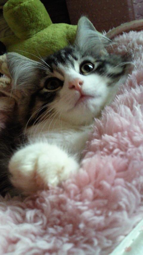 甘えん坊,寂しがり屋,猫,ノルウェージャンフォレストキャット,画像,貼っていく011