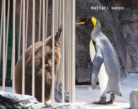 可愛く,悶える,ペンギン,画像,貼っていく012