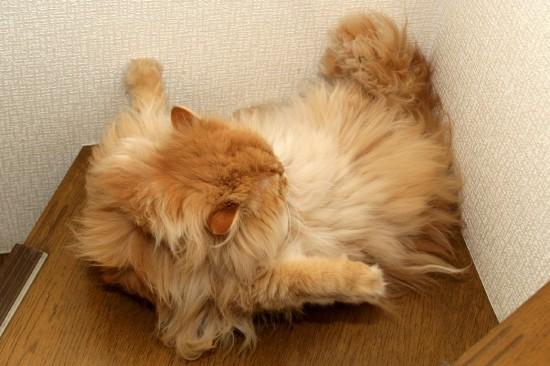 のほほん,のんびり屋,ペルシャ,猫,画像,貼っていく012