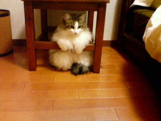 甘えん坊,寂しがり屋,猫,ノルウェージャンフォレストキャット,画像,貼っていく013