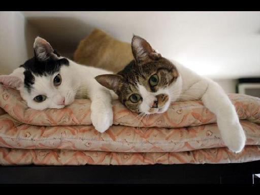 可愛い,猫,画像,貼っていく014