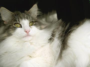 甘えん坊,寂しがり屋,猫,ノルウェージャンフォレストキャット,画像,貼っていく014