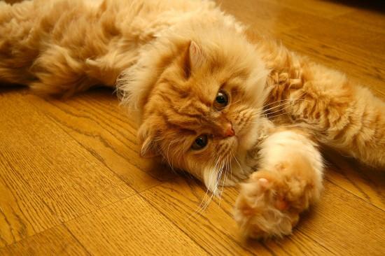 のほほん,のんびり屋,ペルシャ,猫,画像,貼っていく014