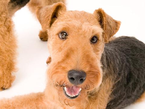 愛らしい,瞳,恋する,ウェルシュ・テリ,犬,画像,貼っていく017
