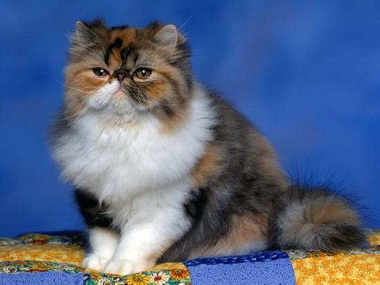 のほほん,のんびり屋,ペルシャ,猫,画像,貼っていく029
