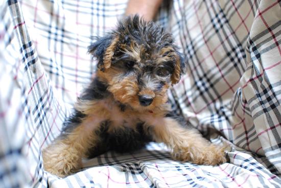 愛らしい,瞳,恋する,ウェルシュ・テリ,犬,画像,貼っていく032
