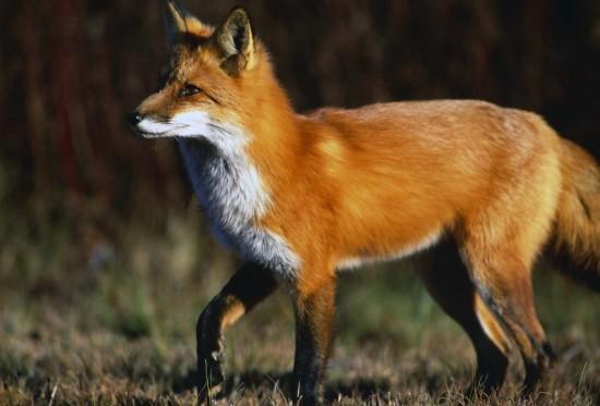 狐,画像,貼っていく002