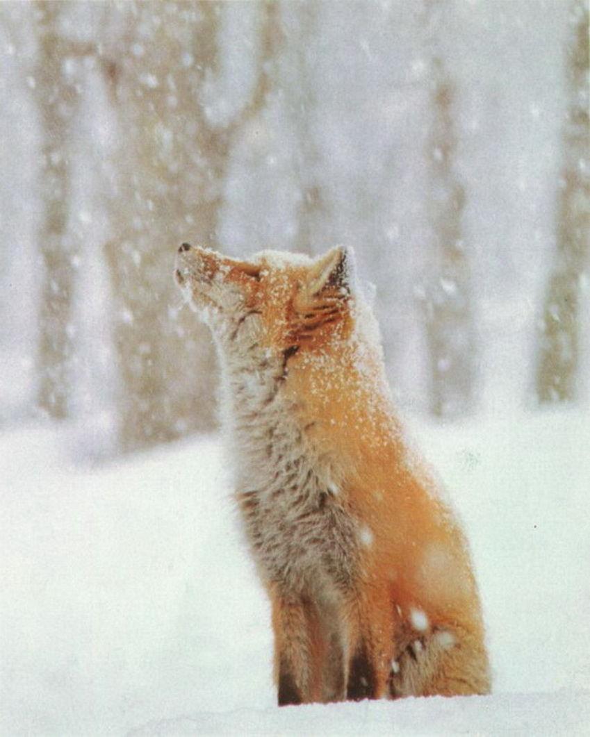 狐,画像,貼っていく004