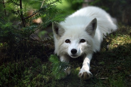 狐,画像,貼っていく006