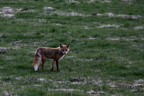 狐,画像,貼っていく010