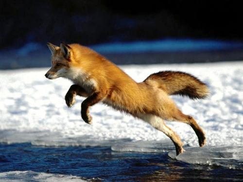 狐,画像,貼っていく012