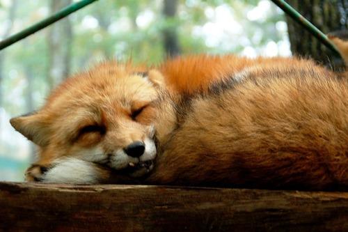 狐,画像,貼っていく014