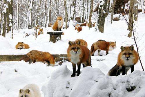 狐,画像,貼っていく016