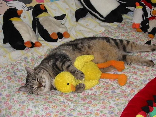 可愛い,猫,画像,貼っていく016