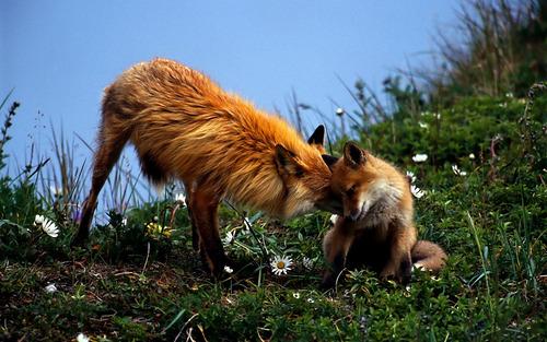 狐,画像,貼っていく018