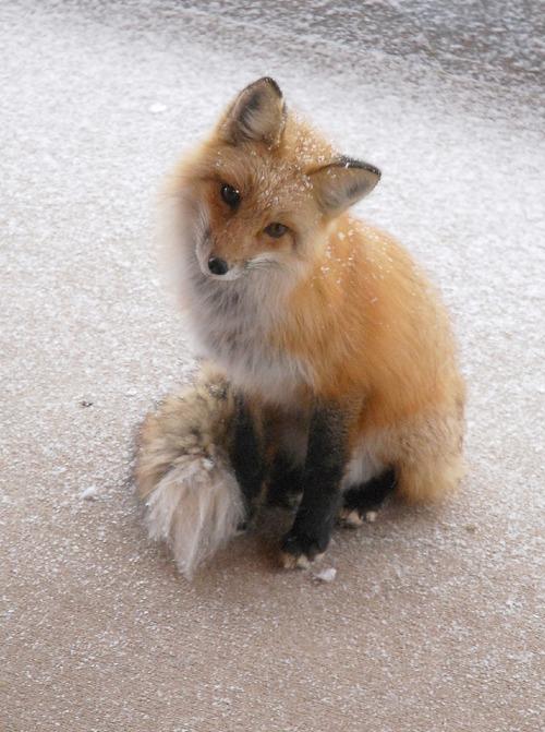 狐,画像,貼っていく020