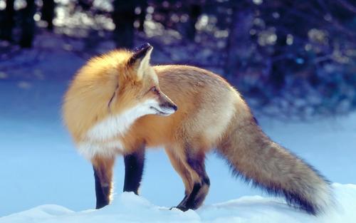 狐,画像,貼っていく022