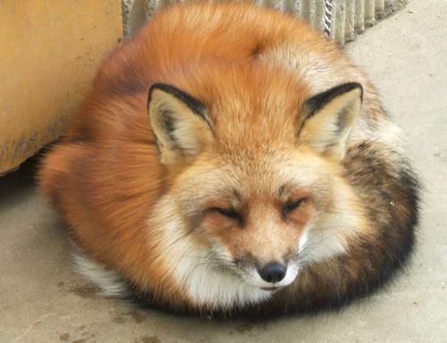 狐,画像,貼っていく024