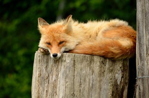 狐,画像,貼っていく026