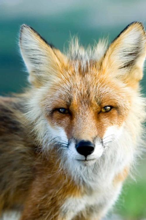 狐,画像,貼っていく028