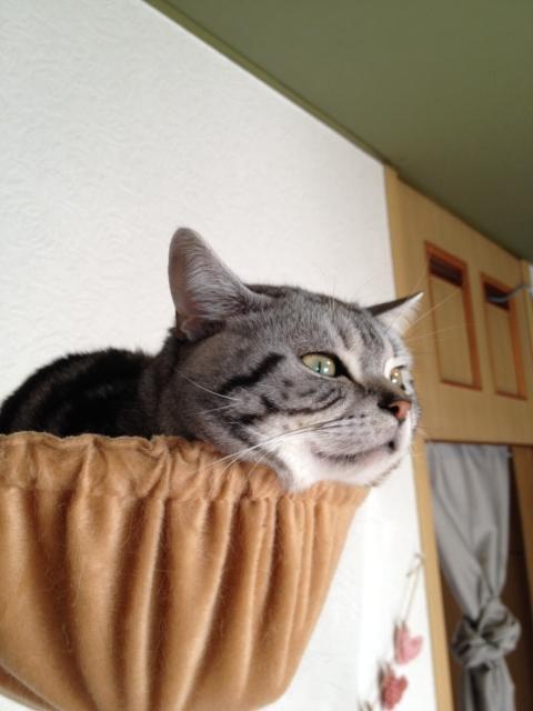 マンチカン,足が長い,愛くるしい,猫,うきょん,画像,貼っていく-10