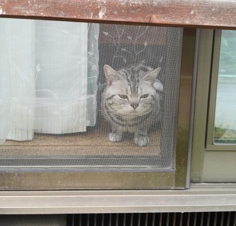 マンチカン,足が長い,愛くるしい,猫,うきょん,画像,貼っていく-11