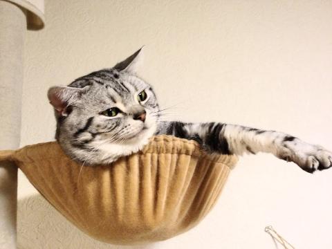 マンチカン,足が長い,愛くるしい,猫,うきょん,画像,貼っていく-19