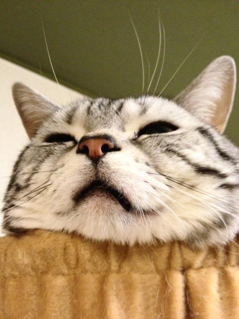 マンチカン,足が長い,愛くるしい,猫,うきょん,画像,貼っていく-3