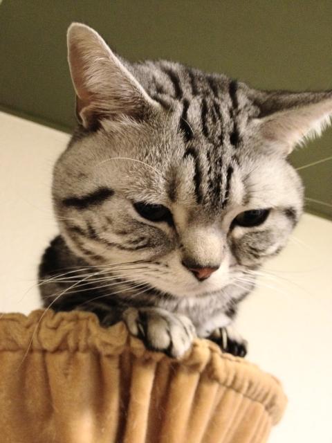 マンチカン,足が長い,愛くるしい,猫,うきょん,画像,貼っていく-5