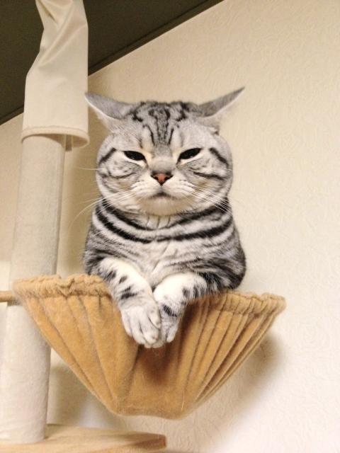 マンチカン,足が長い,愛くるしい,猫,うきょん,画像,貼っていく-7