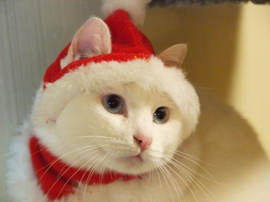 サンタコス,超絶,可愛い,猫ちゃん,画像,貼っていく001