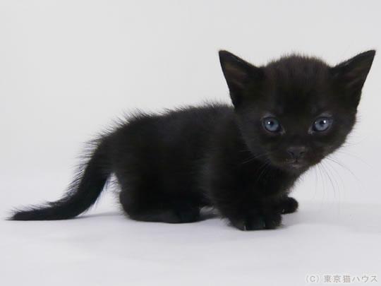神秘的,美しい,黒猫,画像,貼っていく004